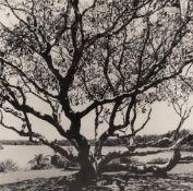 Russel Wong (Singaporean b.1961), Frangipani tree