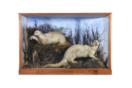 Y A late Victorian case of two preserved otters, Lutra lutra