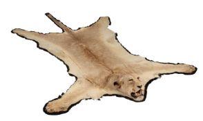 Y A lioness skin rug