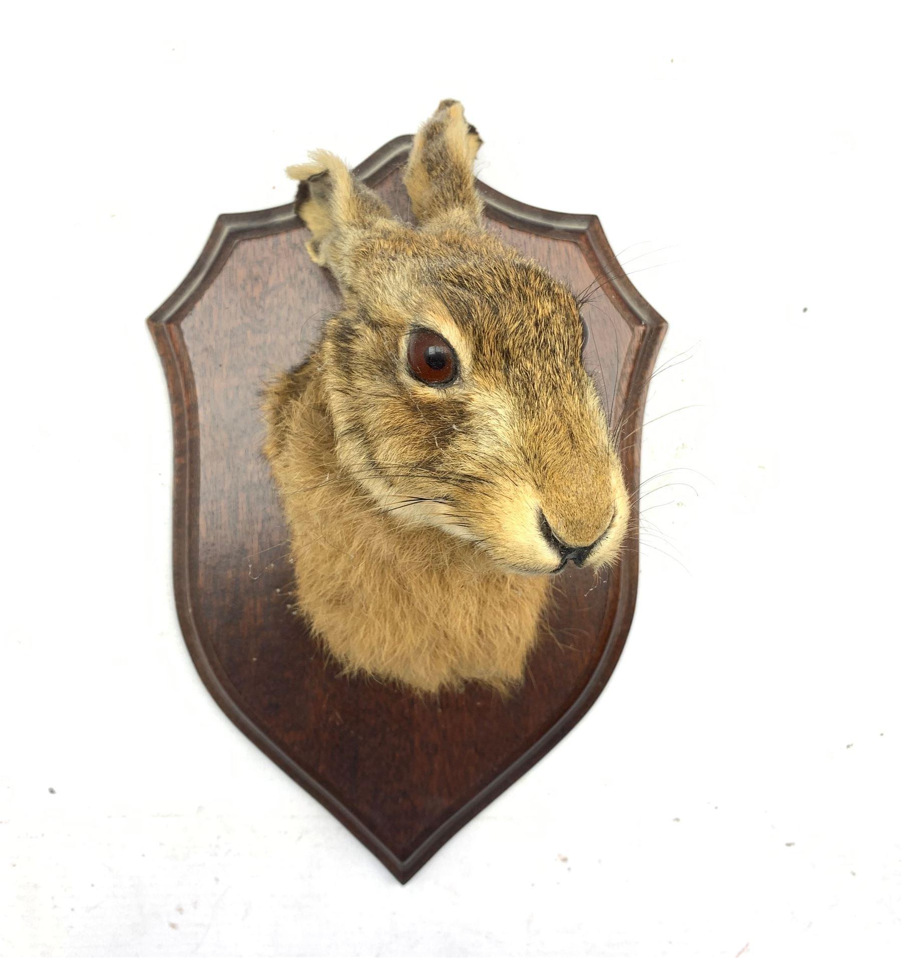 Taxidermy: Hare mask mounted on oak shield