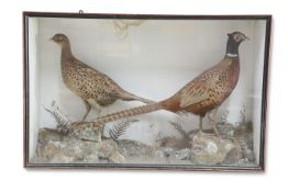 TAXIDERMY: A CASED PAIR OF RING-NECK PHEASANTS