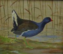 Ralston Gudgeon RSW, Water Hen, Gouache, signed, framed under glass, 29 x 24cm