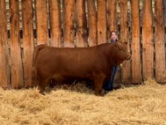 """Neely Ference - Angus/Charolais X """"Ralph"""" - Weight 1410 Lbs"""