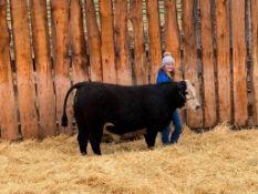"""Chevilyn Sinnott - Angus x Charolais Steer """"Bullseye"""" - Weight 1180 Lbs"""
