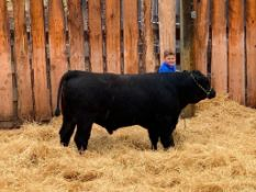"Nathan Sinnott - Angus x Charolais Steer ""Woody"" - Weight 1155 Lbs"