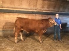 Clay Walsh - Purebred Limousin Steer - Weight 1255 Lbs