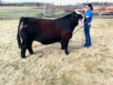 """Robyn Young - Angus Simmental Cross """"Tostito"""" - Weight 1380 Lbs"""