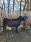 "Colin Elliott - ¾ Maine Anjou and ¼ Black Angus Steer ""Harf"" - Weight 1050 Lbs"