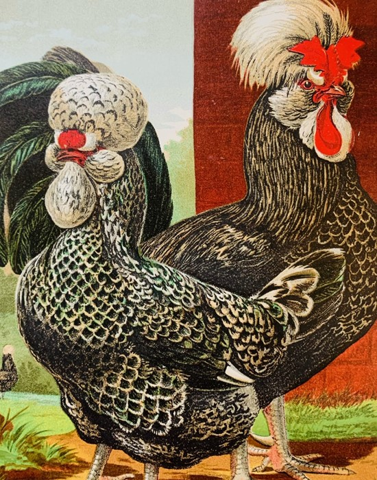 Wright, Lewis. The Illustrated Book of Poultry, London: Cassell, 1880. Quarto, publisher's pictorial - Image 6 of 7
