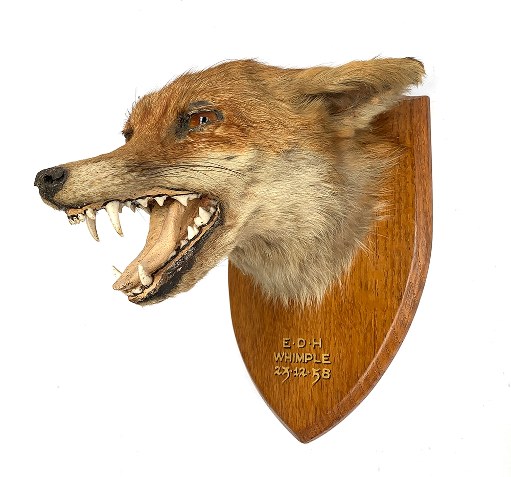 Taxidermy interest: a fox's mask mounted on a wooden shield, inscribed 'East Devon Hunt, Whimple, - Image 2 of 3