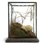 Taxidermy interest: an albino mole in a naturalistic setting within a glass case, 26cm high