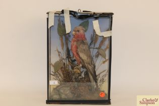 A preserved and cased arrangement of a parrot sat