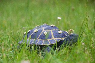 Right Royal Tortoise