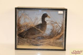 A cased and preserved aquatic bird