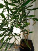 *Yucca Plant in Black Plastic Vase