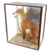 Taxidermy: a figure of a seated fox, cased, 67cm high, 59cm wide, 40cm deep.