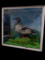 Taxidermy. An early 20thC drake Mallard, naturalistic setting, and three part glazed case, partially