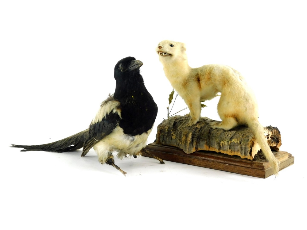 A mid 20thC taxidermied figure of a stoat, on a naturalistic setting and wooden plinth base, 25cm hi