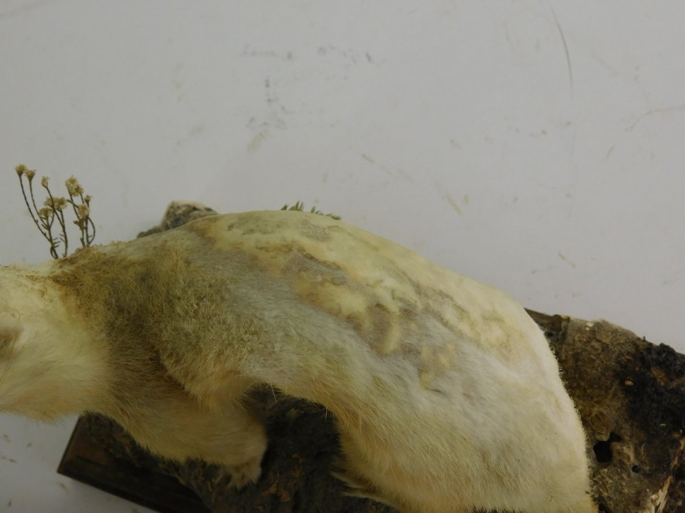 A mid 20thC taxidermied figure of a stoat, on a naturalistic setting and wooden plinth base, 25cm hi - Image 2 of 2