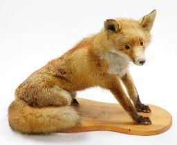 A taxidermied fox, on wooden plinth, 43cm high, 56cm wide.