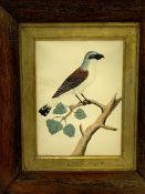 Hand coloured print of a bird, and a watercolour of a bird