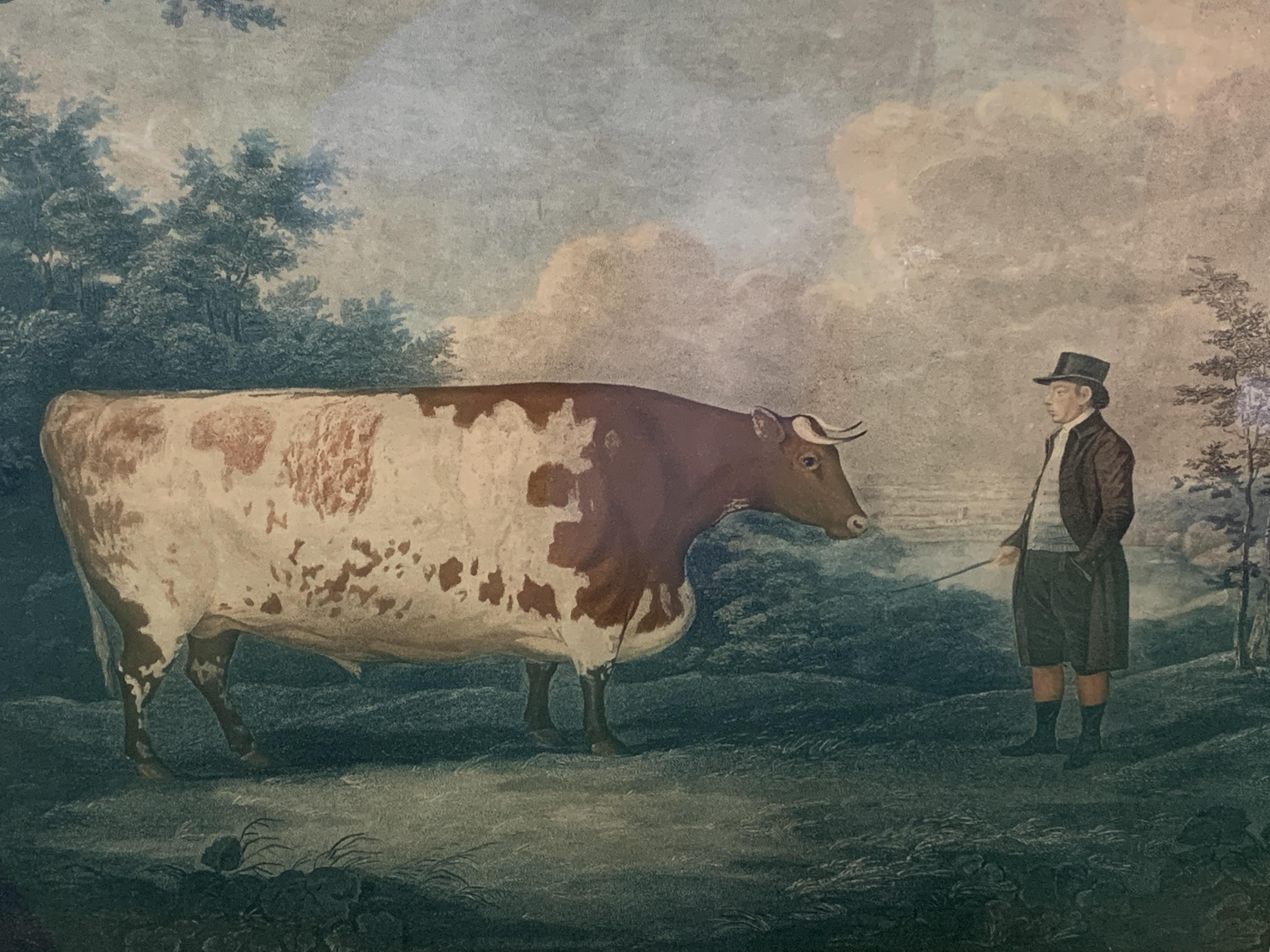 Fruit wood veneer framed and glazed coloured print of the Durham Ox