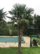 1 x Palm Tree Approx 4-Metres in Height - Ref: JB155 - Pre-Owned - NO VAT ON THE HAMMER - CL574 -