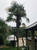 1 x Palm Tree - Approx Metres In Height - Ref: JB177 - Pre-Owned - NO VAT ON THE HAMMER - CL574 -