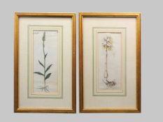 Flora Danica, nordeuropäische PflanzenKupferstiche/Papier. Zwei Tafeln aus dem botani