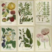 Weinmann, Johann Wilhelm. 1683 - 1741 Früchte und Pflanzen. 10 kol. Kupferstiche. Bis 33 x 21,5 cm.