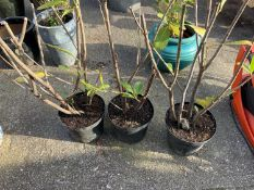 3x Potted Shrubs