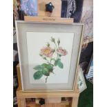 Framed botanical vintage print Pink Rose (Rosa Centifolia Anemonoide )Pierre-Joseph Redouté (1759