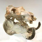 A Common Hippopotamus skull (Hippopotamus Amphibius), c. 1880, an adult bull, some teeth lacking.
