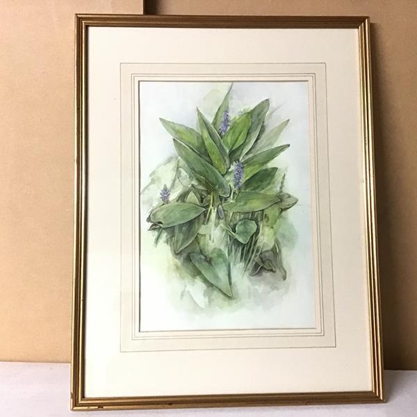 Gillian McDougall, Pontederia Cordata, watercolour, initialled bottom right (34cm x 23cm)