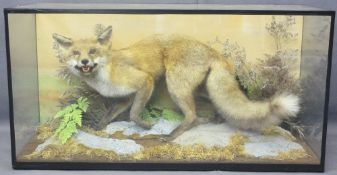 TAXIDERMY - prowling fox in glass cabinet, 50cms H, 97cms W, 38cms D