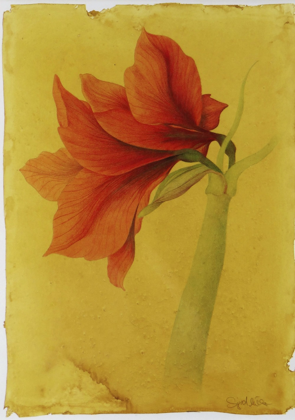 SIGRID MULLER mixed media - entitled verso on Attic Gallery Swansea label 'Amaryllis Study', signed, - Image 4 of 5