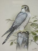 ERIC PEAKE fine watercolour study of a male merlin perched on a fence post, signed, 30 x 23cms
