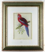 COLOUR PRINT 'PENNANT'S PARAKEET', 26 x 18cms, framed and glazed