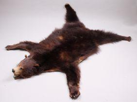 Fell eines Braunbären. Präparat eines nordamerikanischen Braunbären mit ausgestaltetem Kop