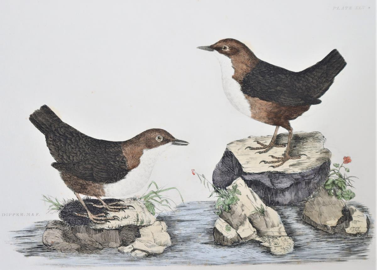 P J Selby, Hand-Colored Engraving, Dipper 19th C. - Image 3 of 4