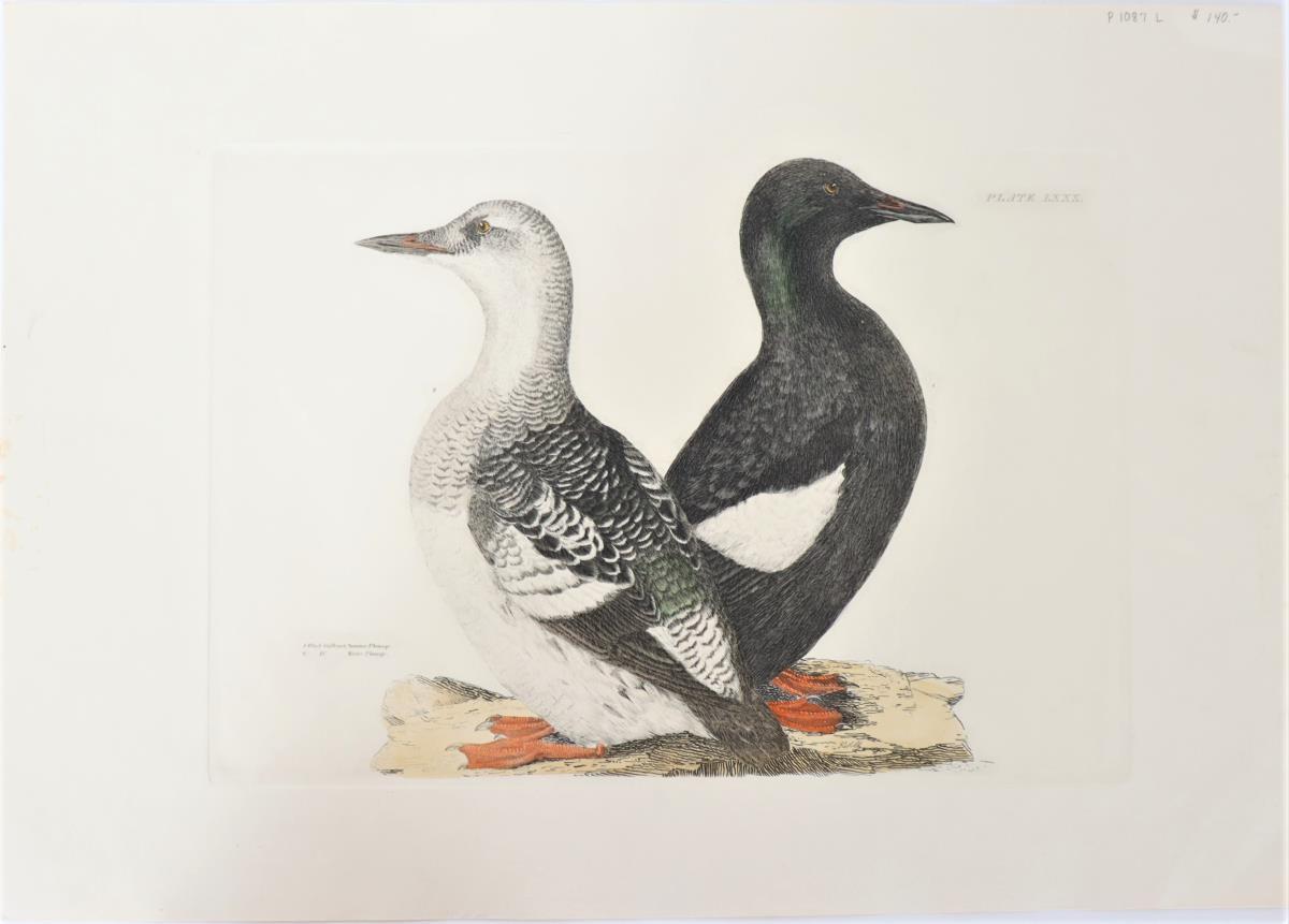 P J Selby, Hand-Colored Engraving, Black Guillemot