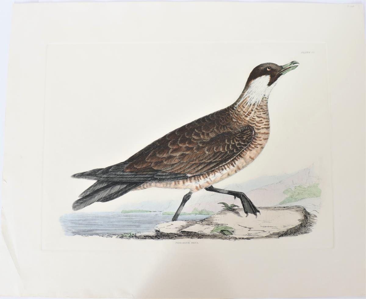 Selby, Hand-Colored Engraving, Pomarine Skua 19th