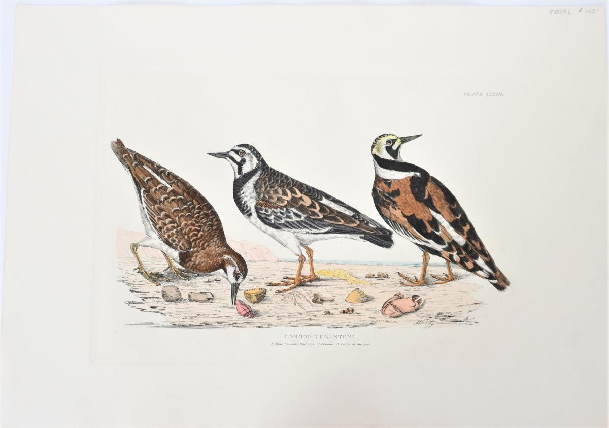 P J Selby, Hand-Colored Engraving, Common Turnston - Image 2 of 6