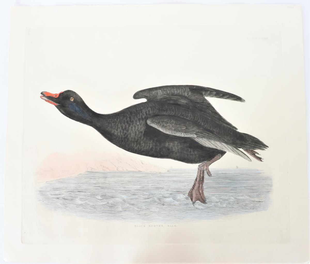 P J Selby, Hand-Colored Engraving, Velvet Scoter