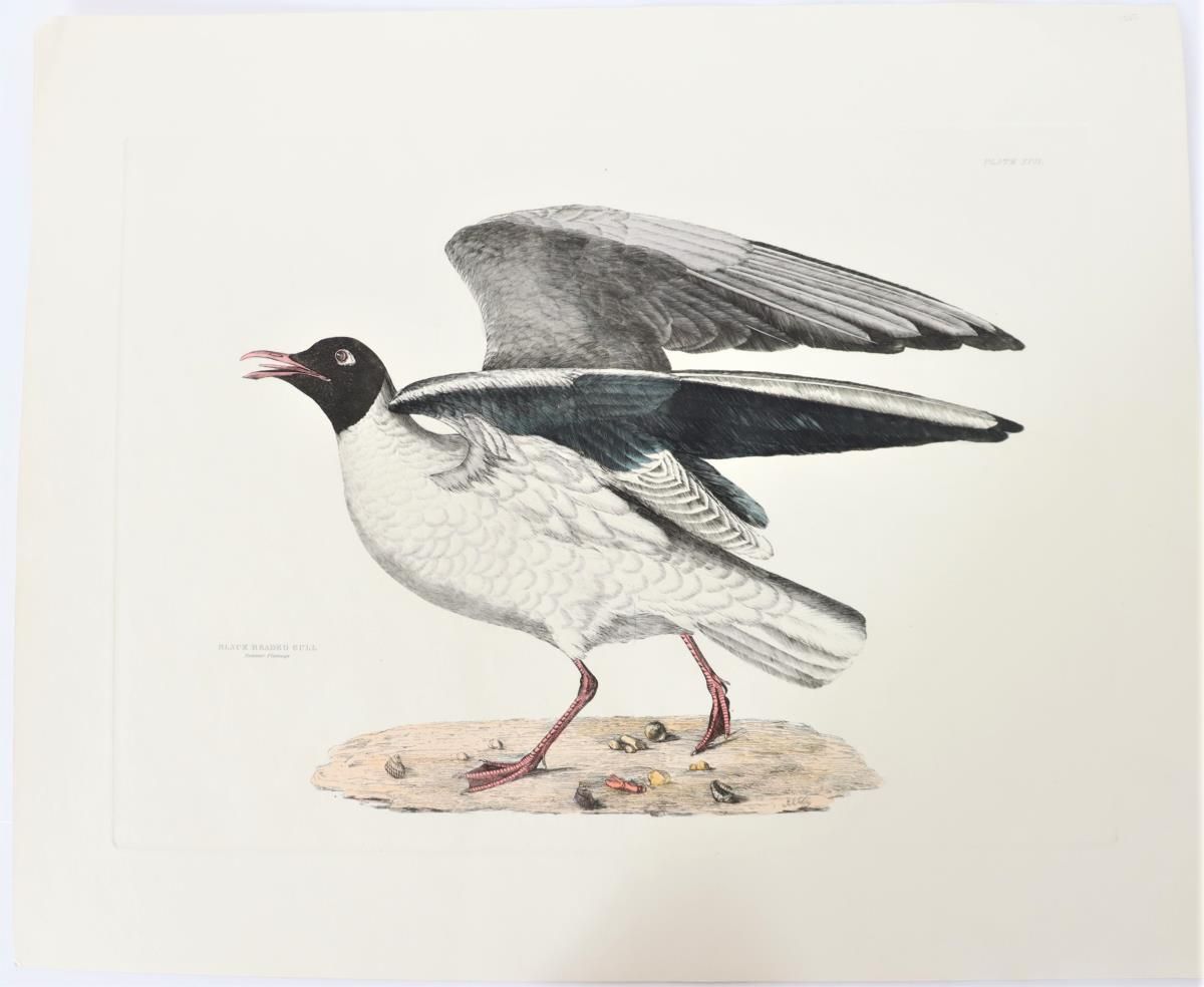P J Selby, Hand-Colored Engraving, Black-Headed