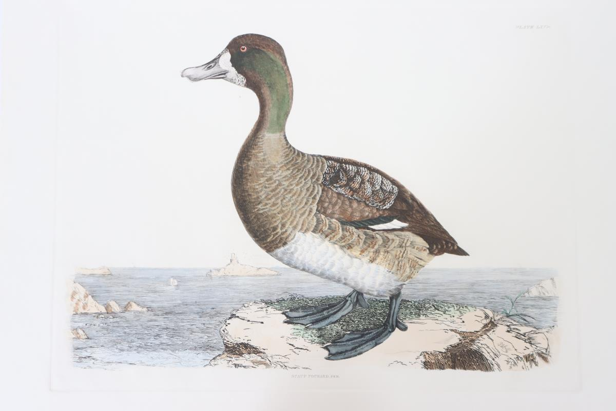 P J Selby, Hand-Colored Engraving, Scaup Pochard 1 - Image 4 of 4