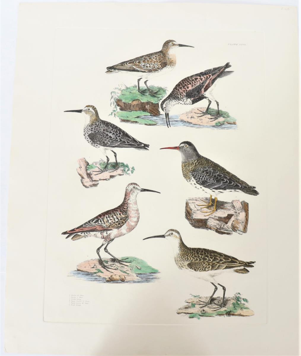 P J Selby, Hand-Colored Engraving, Dunlin, Curlew