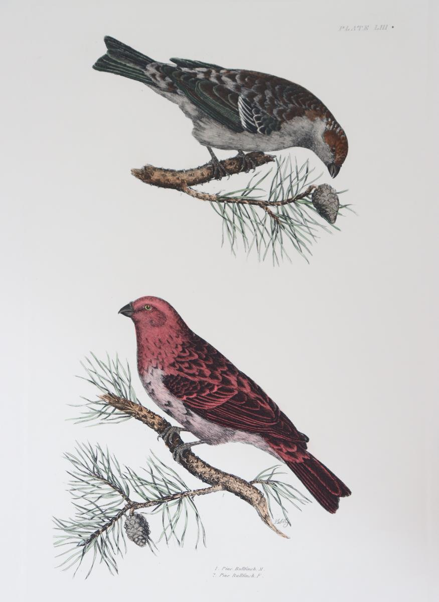 P J Selby, Hand-Colored Engraving, Pine Bullfinch - Image 3 of 8
