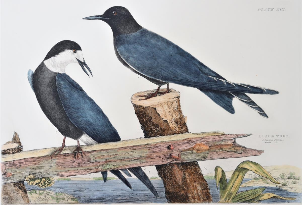P J Selby, Hand Colored Engraving, Black Tern - Image 4 of 6