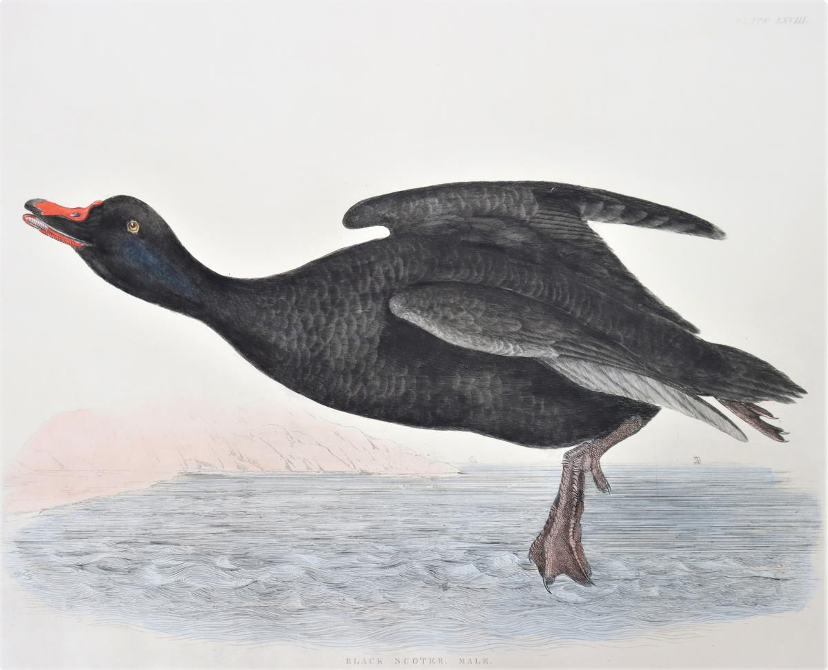 P J Selby, Hand-Colored Engraving, Velvet Scoter - Image 3 of 4